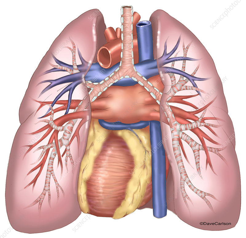 Lungs and Heart (Posterior View), illustration