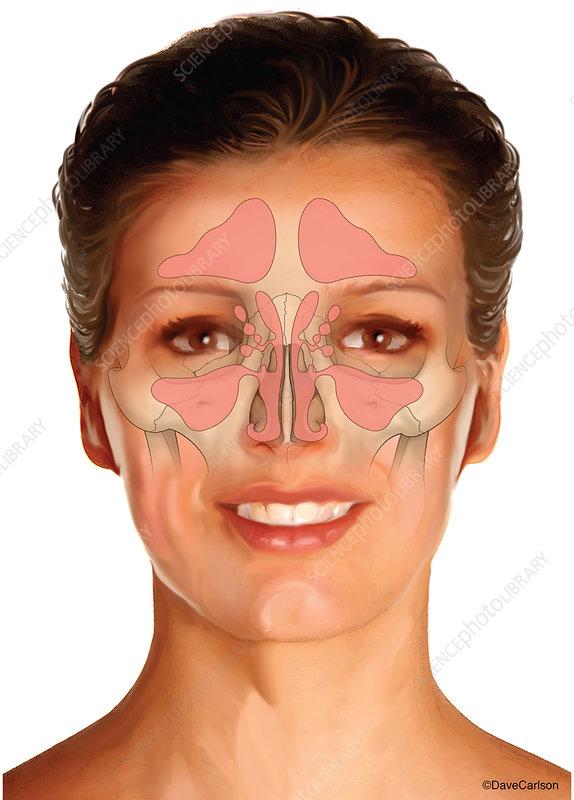 Nasal Sinuses, illustration