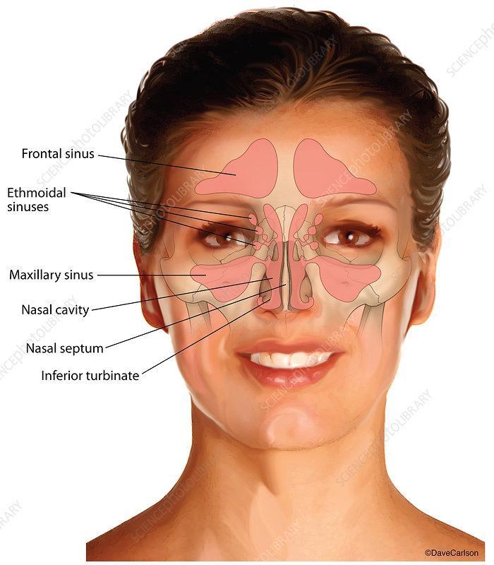 Nasal Sinuses (labelled), illustration