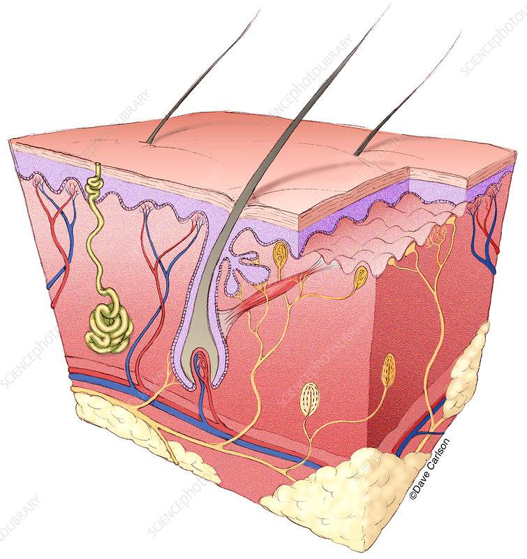 Skin Structure, illustration
