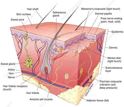 Get Free Nerve Endings In Skin Diagram Images