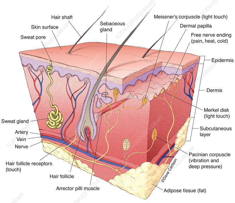 Skin Structure (labelled), illustration