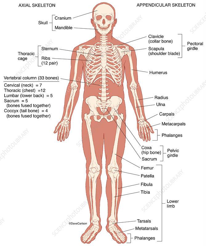 Human Skeleton (labelled), illustration
