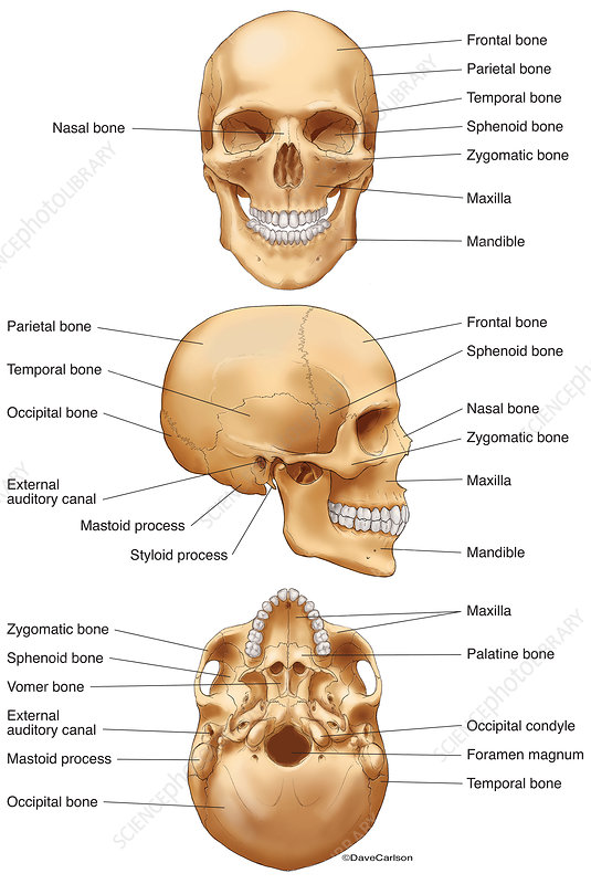 Human Skull (labelled), illustration