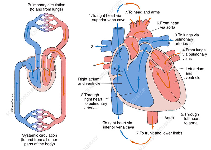 Human Circulatory System (labelled), illustration