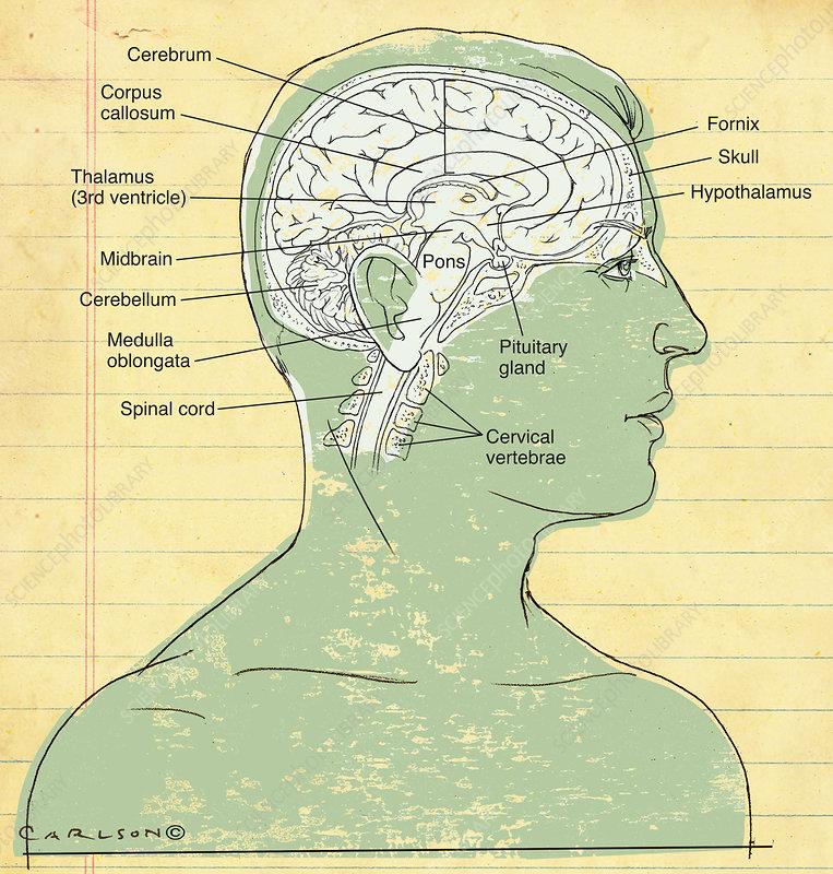 Human Brain (labelled), illustration