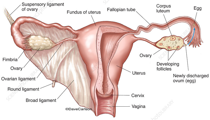 Female Reproductive System (labelled), illustration