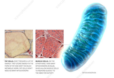 Human Body Cell Structure Mitochondria Stock Photos and Pictures