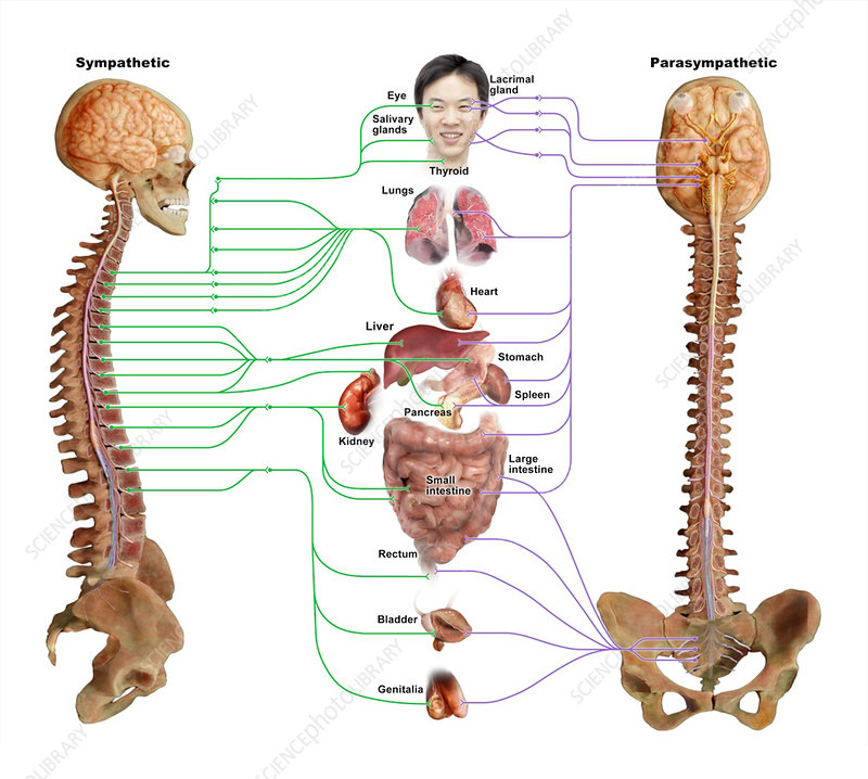 Sympathetic and Parasympathetic Nervous Systems