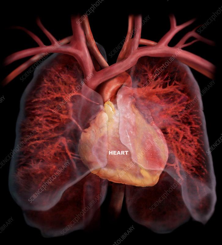 Heart and Pulmonary Circulatory System