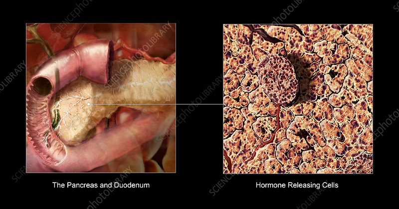 The Pancreas and Digestion