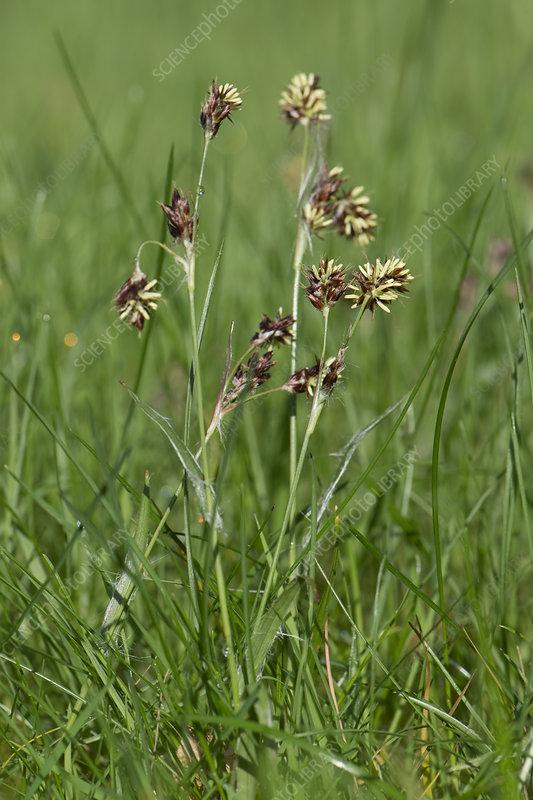 Field woodrush flower