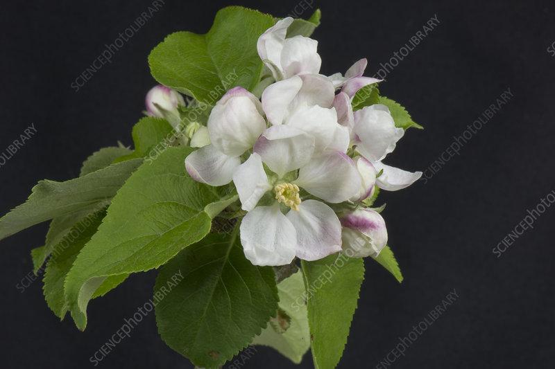 Apple flower series 5 of 5