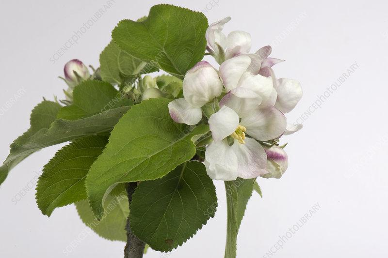 Apple flower series 5 of 6