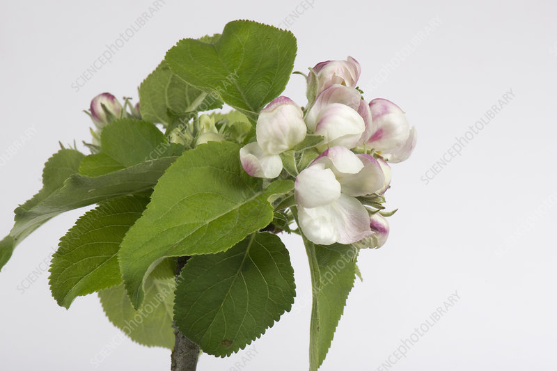 Apple flower series 4 of 6