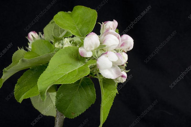 Apple flower series 2 of 5