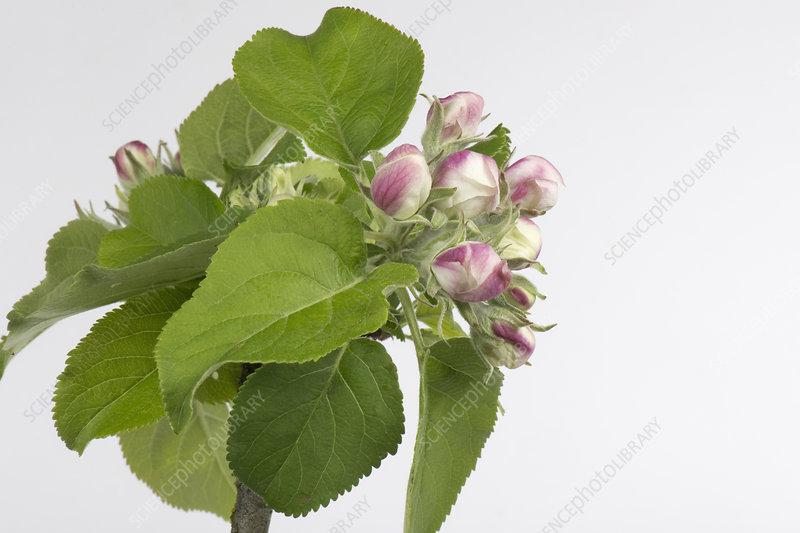 Apple flower series 3 of 6