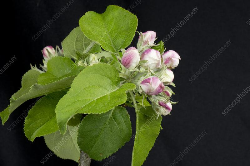 Apple flower series 1 of 5