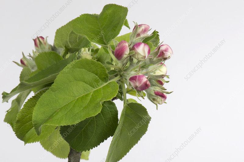 Apple flower series 2 of 6