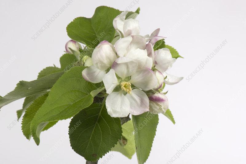 Apple flower series 6 of 6