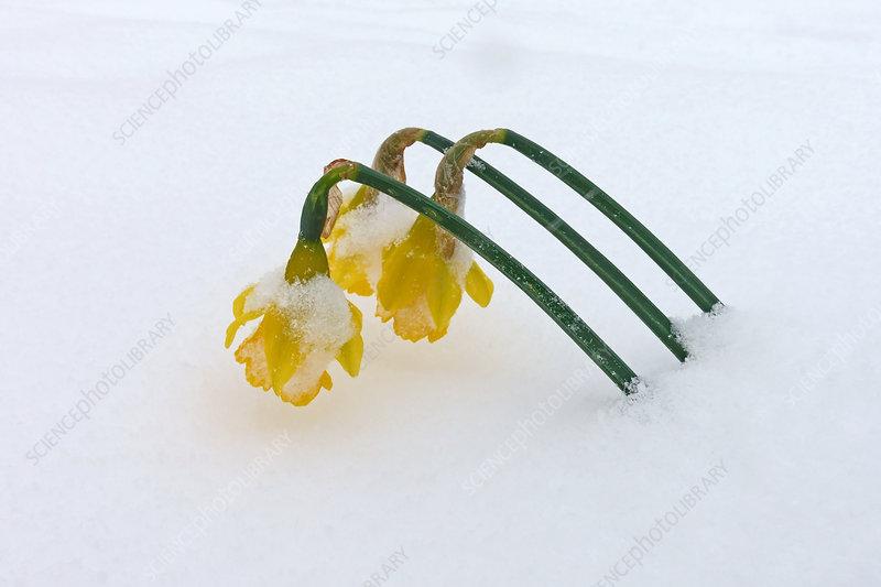 Daffodils through snow