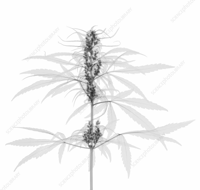 X-Ray of a Cannabis Plant with Seeds