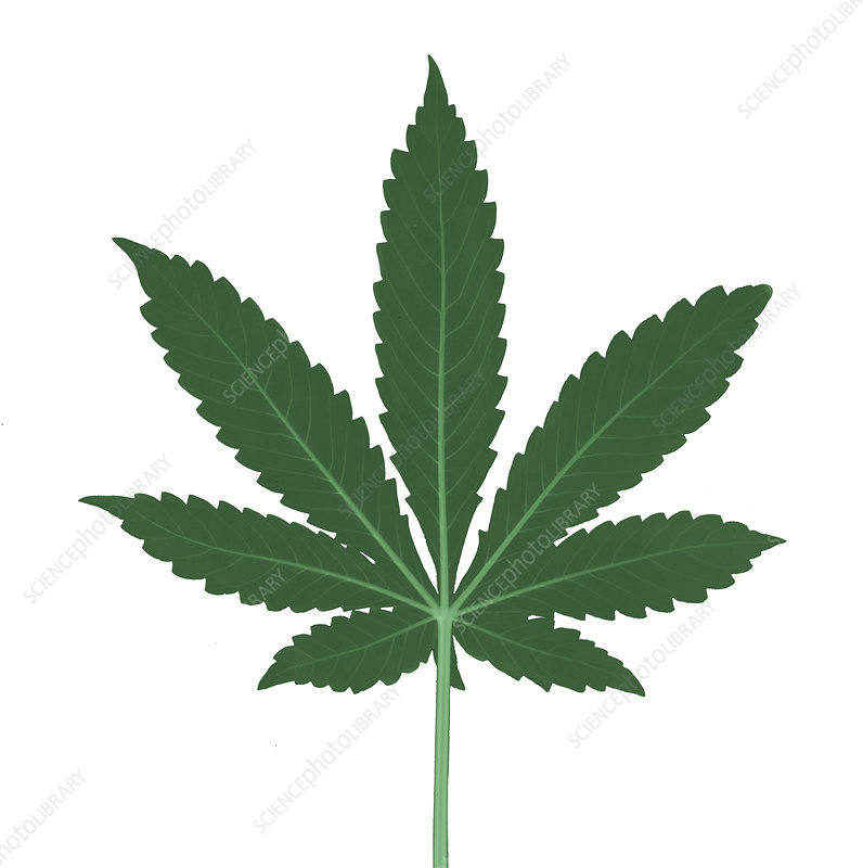 X-Ray of a Cannabis Plant