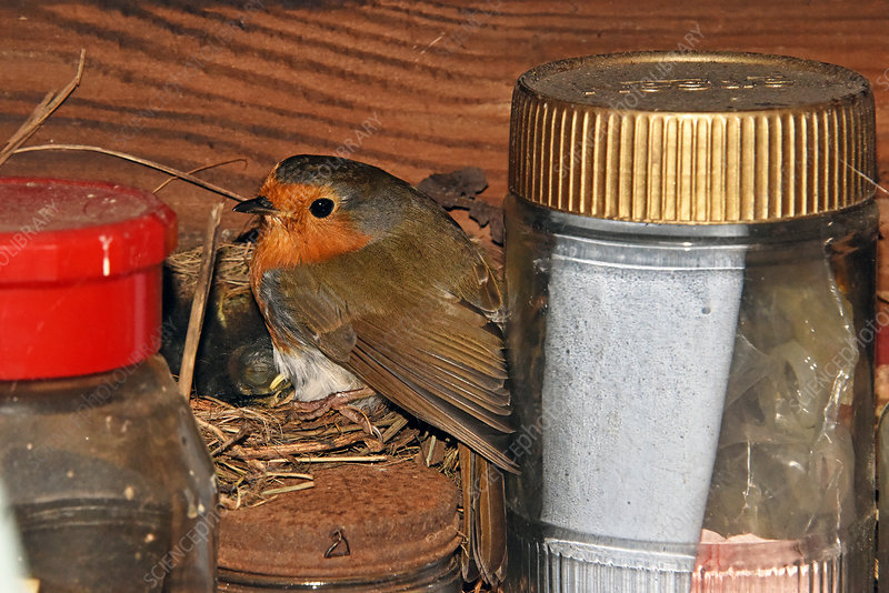European Robin at its nest