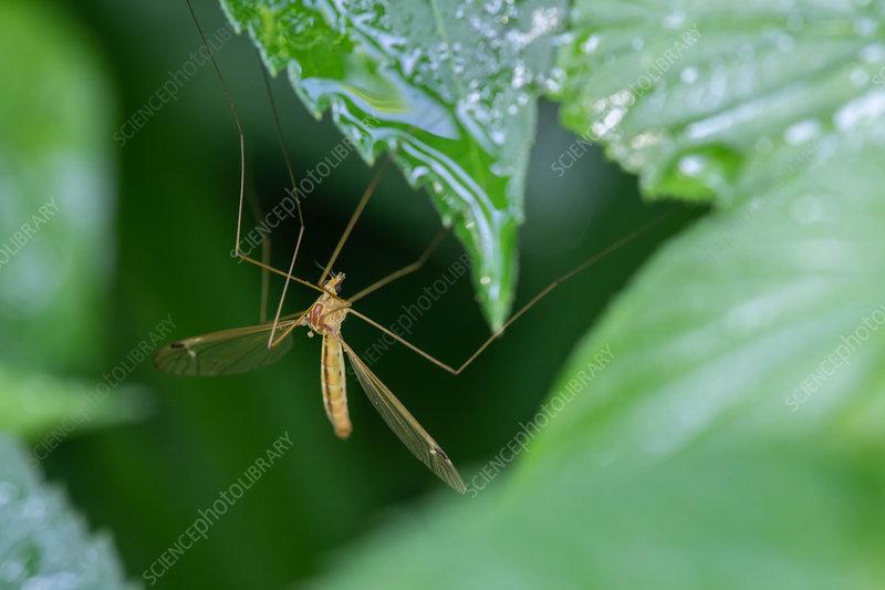 Green Stigma Hangingfly