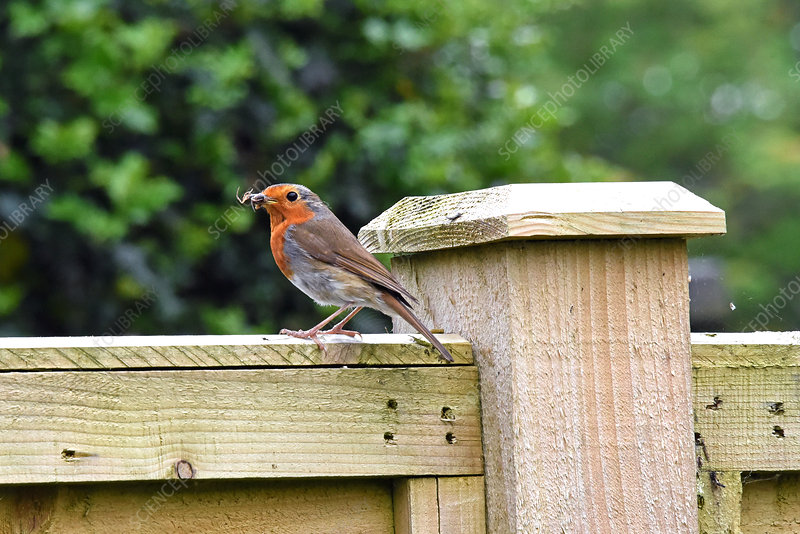 Adult European Robin carrying a spider