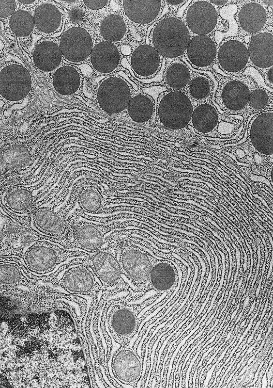 Human Pancreas Cells TEM