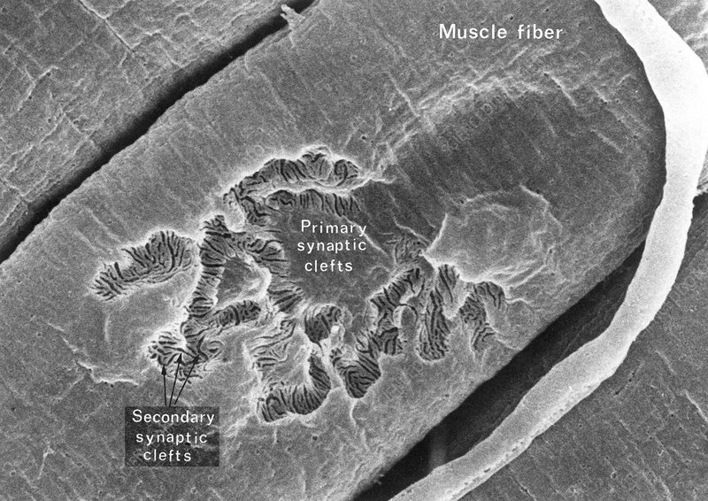 Synaptic Clefts in Muscle Tissue, SEM