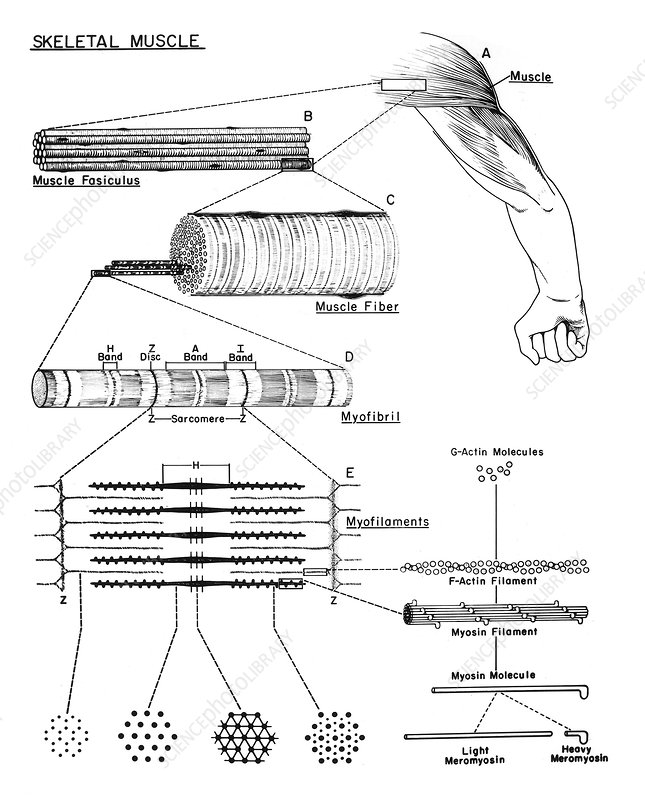 Skeletal Muscle, Diagram