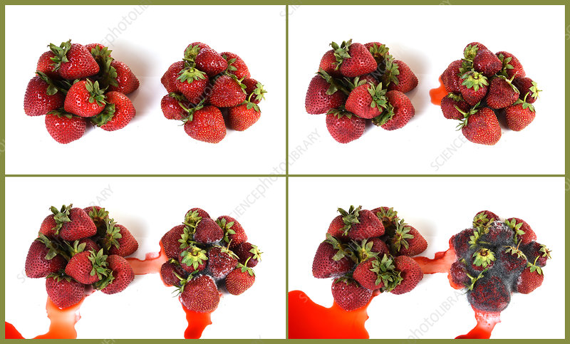 Strawberries Becoming Mouldy
