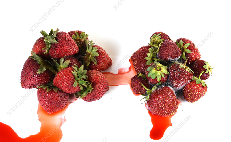 Strawberries Becoming Mouldy, 3 of 4