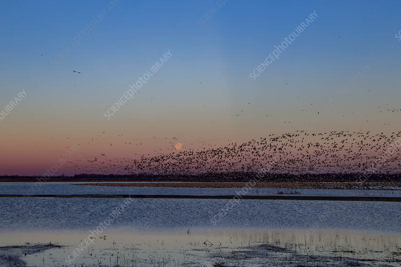 Flock of Snow Geese and Blackbirds