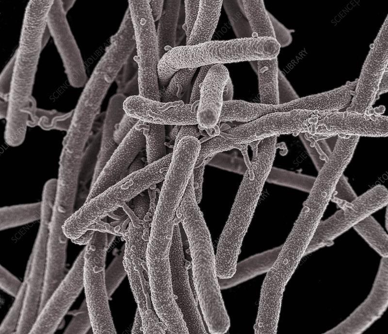 Bacillus Bacteria, SEM