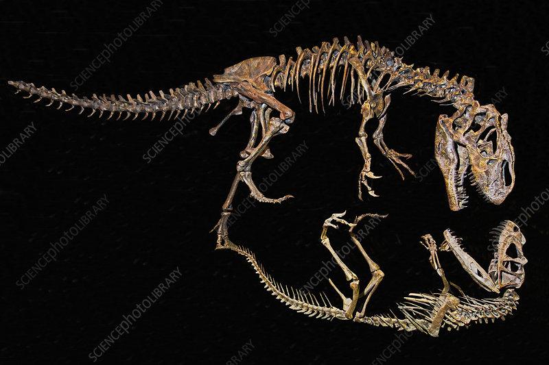 Allosaurus Fighting