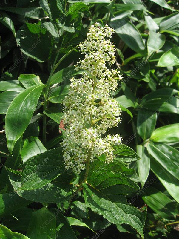 Tripterygium regelii, Medicinal Plant