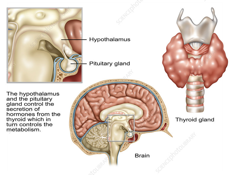 Hypothalamus, Illustration