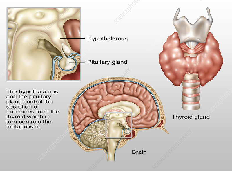 Hypothalamus, Illustration