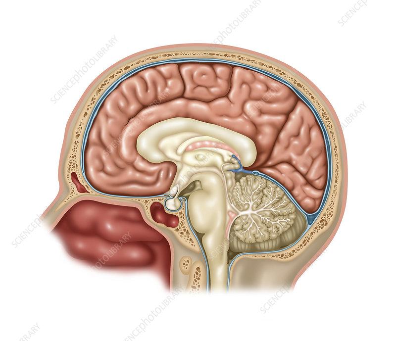 Anatomy of Brain, Illustration