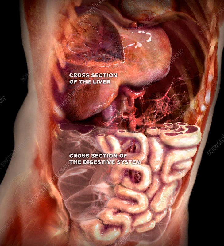 Liver and Digestive System