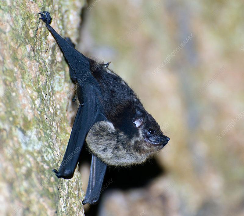 Rainforest bat