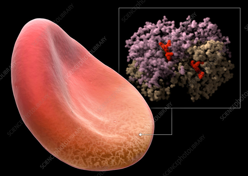 Red Blood Cell and Haemoglobin Molecule