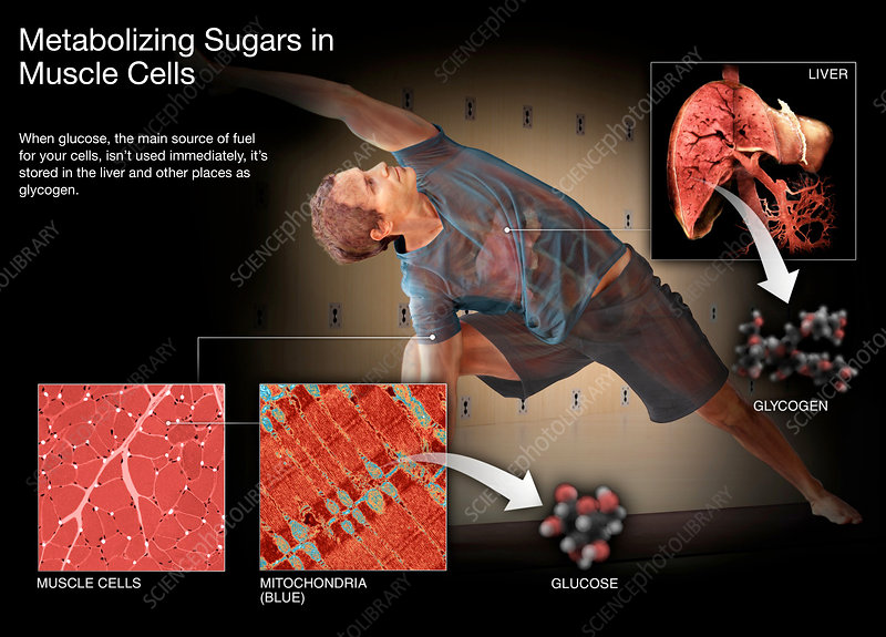 Metabolizing Sugar in Muscle Cells