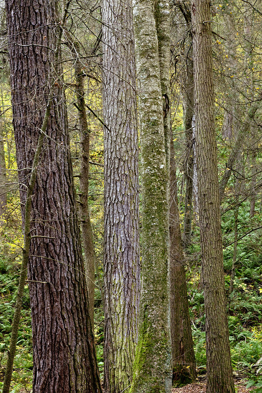 Eastern Old Growth Forest