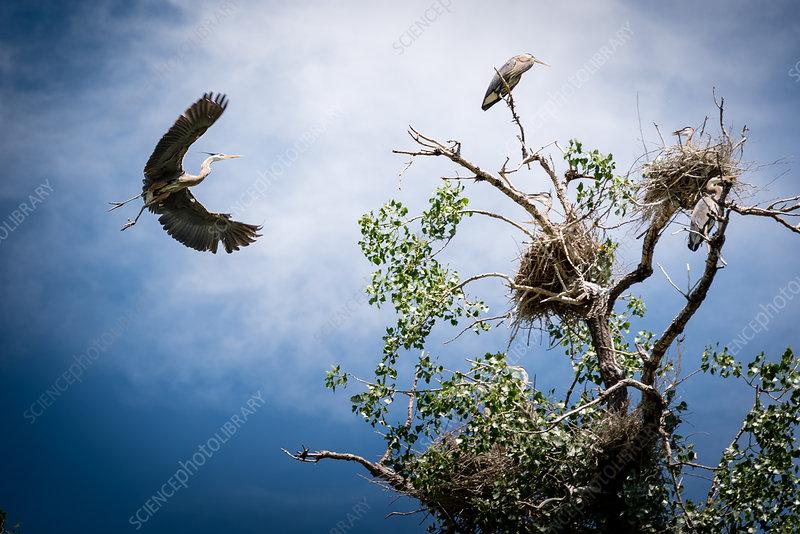 Adult Heron Returns to Nest