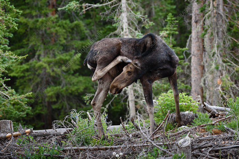 Young Moose Scratching