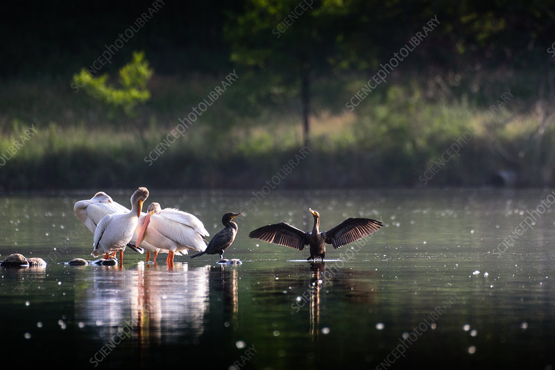 While Pelicans and Cormorant